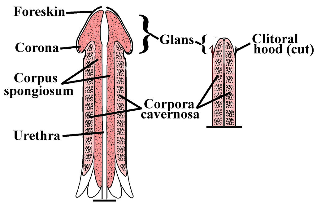 întinderea manuală a penisului