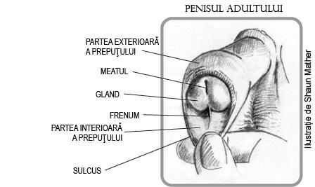 erecții întrebare și răspuns penis până la vârsta în care crește