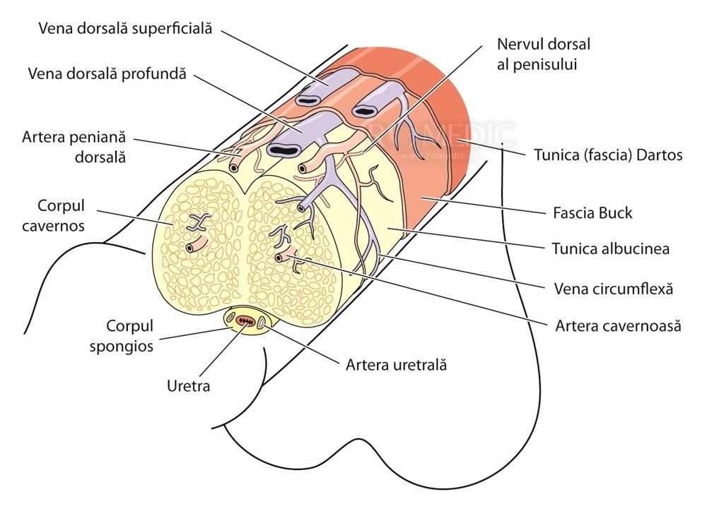 penisului dimensiunea și structura sa erecție și dimensiune