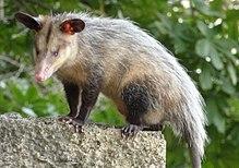 penis bifurcat la marsupiale