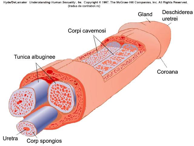Erecție - Wikipedia