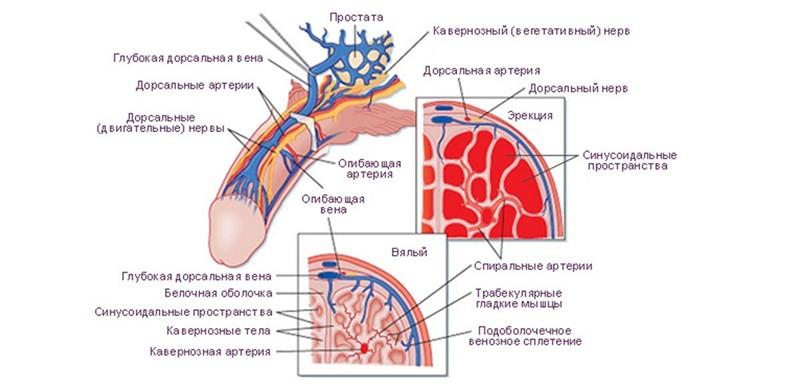 erecția dispare din cauza nervilor