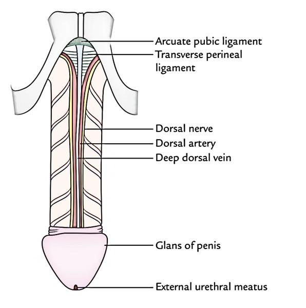 penisuri arcuate