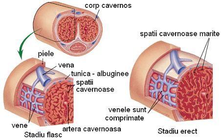 tratamentul erecției slăbit ajută inelul de erecție
