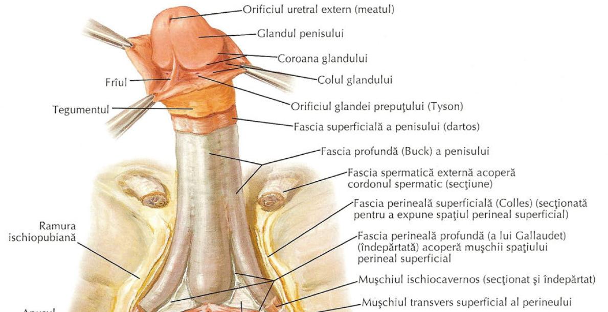 coroana pe penis este ok dacă erecția este slabă