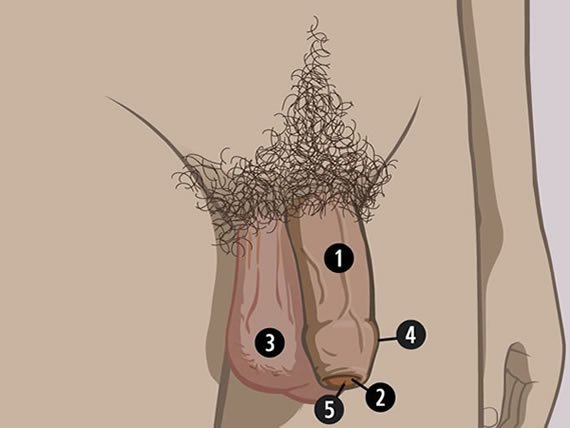 Tipuri de penis in functie de forma si de dimensiuni