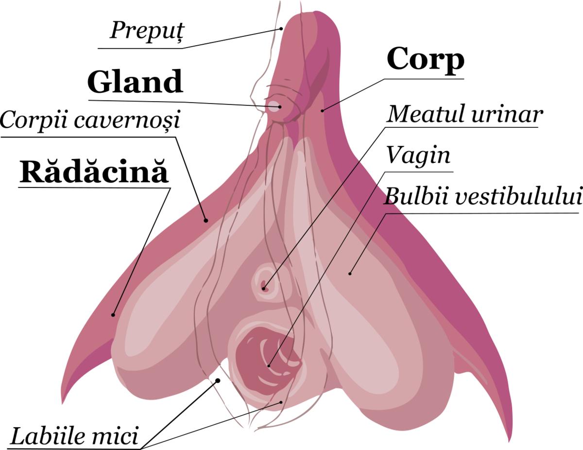 după debutul actului sexual, erecția dispare