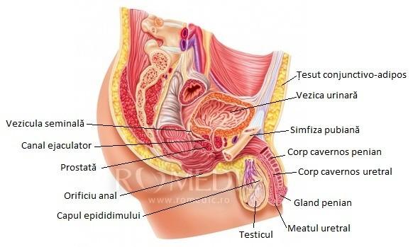Probleme testicul si penis
