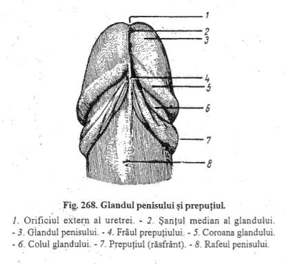 coroana pe penis înseamnă că îmbunătățesc și prelungesc erecția