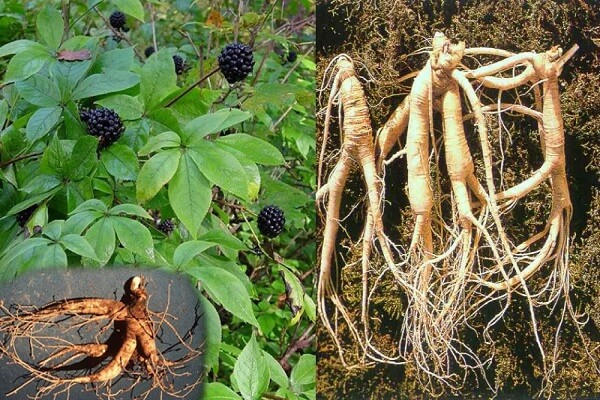 ce plante îmbunătățesc erecția