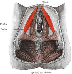 Muşchii şi stimularea sexuală - CSID: Ce se întâmplă Doctore?