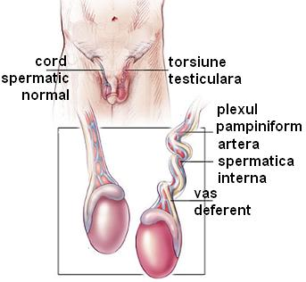 în timpul unei erecții, testiculele dispar