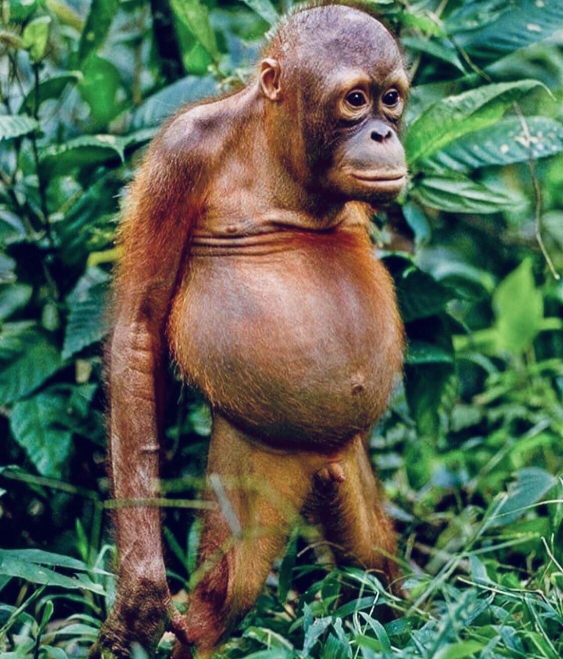 penis de orangutan grosimea dimensiunii penisului
