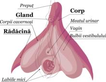 penis în stare relaxată