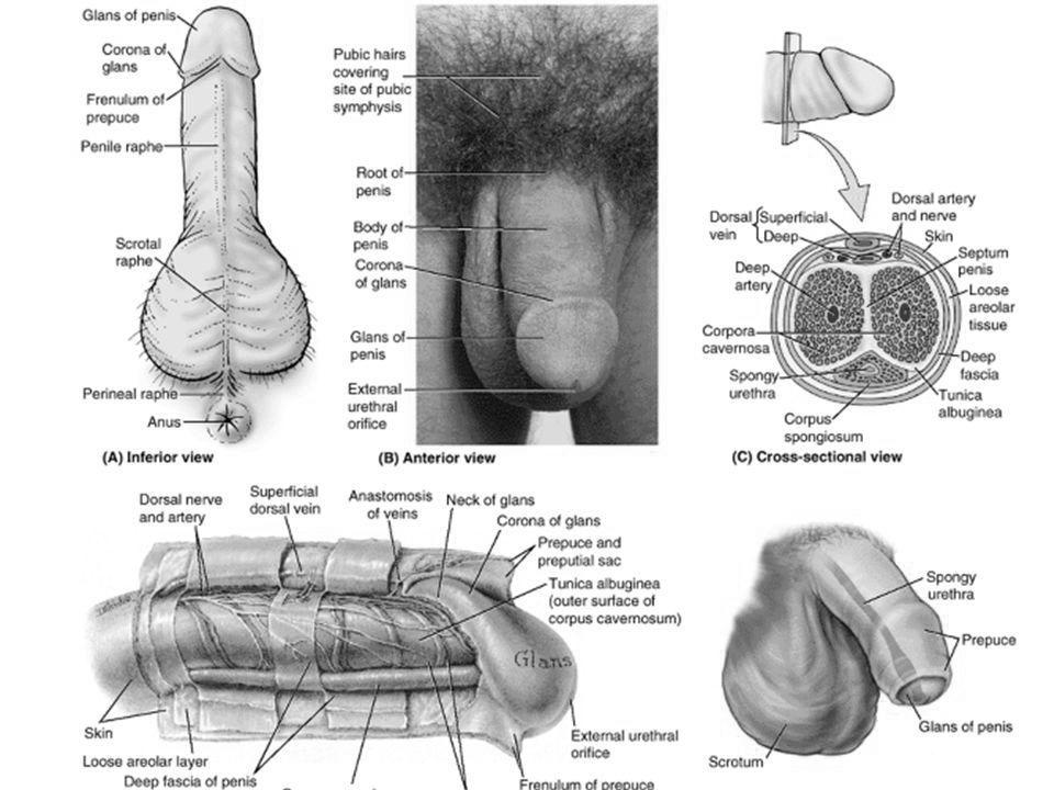 ceea ce înseamnă nicio erecție dimineața introdus în penis