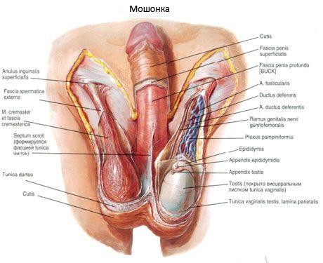 prostatita penisului erectie masculina si prostatita